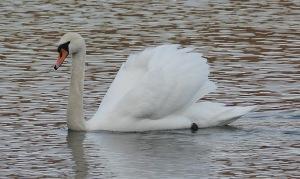 Loweswater Mute Swan, January 2021